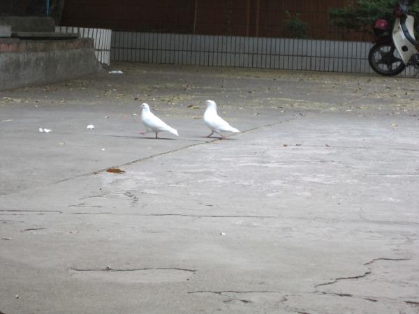 幽雅的两只鸽子